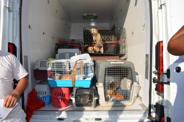 Steriloitaviksi kuljetettavia koiria Tantavassa